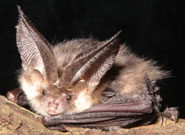 A brown long-eared bat (Plecotus auritus)