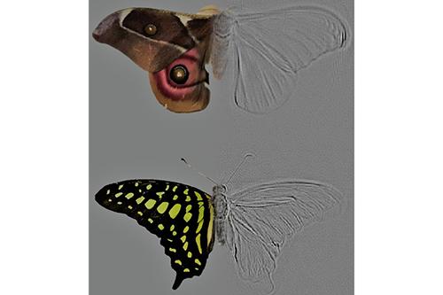 Deaf moths employ acoustic Müllerian mimicry against bats ... |Deaf Icon Moth